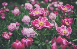 Fahne der Blumen-Background Schöne rosa und rote Pfingstrosen auf dem Gebiet stockfoto