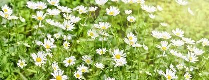Fahne des Kamillenfeldes der weißen schönen Gänseblümchen stockbilder