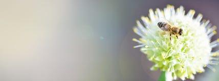 fahne Die Biene sammelt Honig auf einem Blumenbogen stockfotos