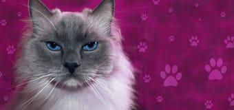 Fahne mit Porträt von ragdoll Katze und Raum für Text Stockbild