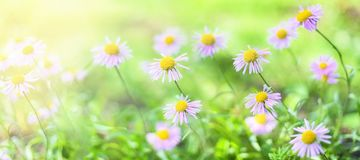 fahne Schöne alpine Gänseblümchen, Astern in der Sonne lizenzfreie stockfotografie