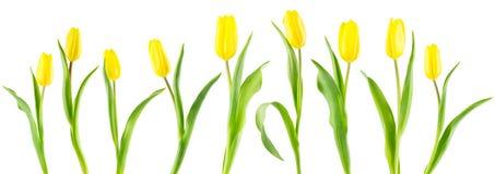 Fahne von gelben Tulpen auf Weiß Lizenzfreie Stockfotos