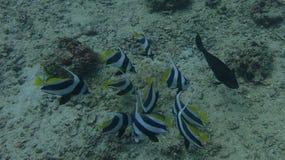 Fahnenfische lizenzfreie stockbilder