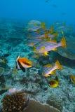 Fahnenfische, der Indische Ozean Unterwasser Lizenzfreie Stockfotografie