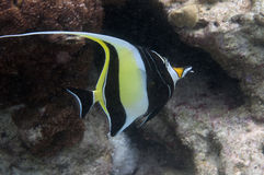 Fahnenfische des Adaman Meeres Lizenzfreies Stockbild