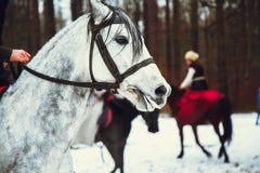 Fahren auf das weiße andalusische Pferd im Winterwald Stockfotos