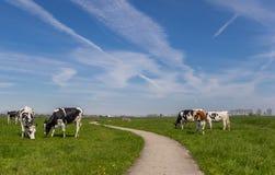 Fahrradweg durch Ackerland mit Kühen Lizenzfreie Stockfotos