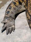 Fahrwerkbein des afrikanischen Krokodils Stockfoto
