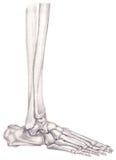 Fahrwerkbein- und Fußknochen Lizenzfreie Stockbilder