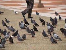 Fahrwerkbeine, die durch Tauben gehen Stockfoto