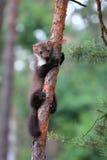 Faia da marta, lat Foina do Martes no pinheiro Imagens de Stock Royalty Free