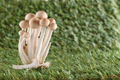 A faia de Brown cresce rapidamente, cogumelo de Shimeji, cogumelo comest?vel Fotos de Stock