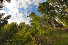 Faia e pinhos da vista inferior Fotografia de Stock