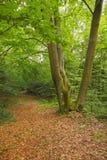 Faia três na floresta com folha caída seca Foto de Stock Royalty Free