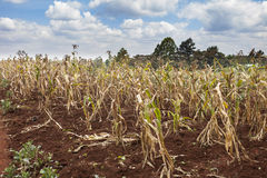 Failing crops in Kenya. Failing crops on Kenyan farm royalty free stock image