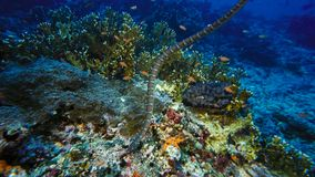 Faint-banded sea snake or belcher`s sea snake Hydrophis belcheri swimming at coral reef,Papua Niugini, Indonesia. Marine life concept royalty free stock images