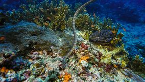 Faint-banded sea snake or belcher`s sea snake Hydrophis belcheri swimming at coral reef,Papua Niugini, Indonesia. Marine life concept stock image