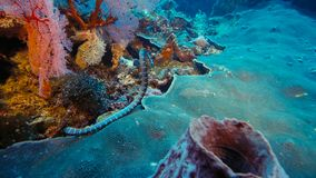 Faint-banded sea snake or belcher`s sea snake Hydrophis belcheri swimming at coral reef,Papua Niugini, Indonesia. Marine life concept stock photography