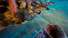 Faint-banded sea snake or belcher`s sea snake Hydrophis belcheri swimming at coral reef,Papua Niugini, Indonesia. Marine life concept royalty free stock photography
