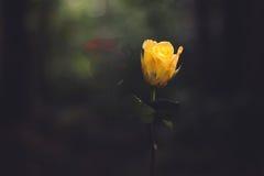 Faint roses Stock Photos