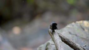 Faintail在栖息处的鸟跳舞在喜马拉雅山的森林里 股票录像