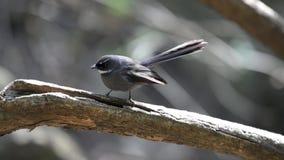 Faintail在栖息处的鸟跳舞在喜马拉雅山的森林里 股票视频