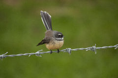 Fantail Bird Royalty Free Stock Photography