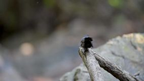 Faintail fågeldans på sittpinnen i skog av Himalaya lager videofilmer