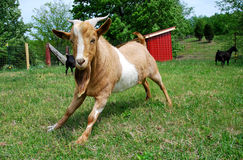 Fainting Goat in Field Stock Image