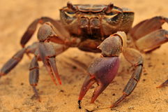 Fair Fight. A random encounter of a crab and an ant Royalty Free Stock Image