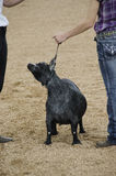 Fair Judging of Goat contest Royalty Free Stock Photos