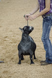 Fair Judging of Goat contest Royalty Free Stock Images