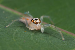 A fair jumping spider with four missing legs Royalty Free Stock Image