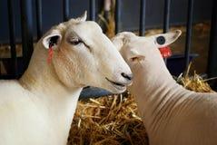 fair sheep state Στοκ εικόνα με δικαίωμα ελεύθερης χρήσης