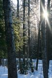 Fair winter. Sunlight between the trees in winter forest Stock Images