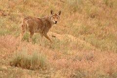 Faire une pause de coyote photographie stock libre de droits