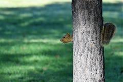 Faire une pointe l'écureuil Photos stock