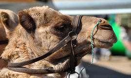 Fairground wielbłąd Zdjęcie Stock