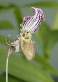 Fairrie's Paphiopedilum Orchid Stock Image