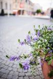 Fairy завод цветка вентилятора, половинные венчики цветет Стоковые Фото