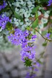 Fairy завод цветка вентилятора Стоковые Изображения