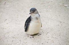Fairy пингвин или маленький пингвин Стоковое Изображение RF