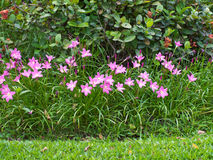 Fairy цветок лилии Стоковые Фото