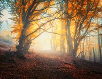 Fairy autumn forest with trail in fog. Trees in fall colors Stock Images
