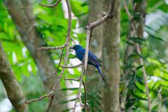 Fairy-bluebird Stock Photography