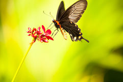 Fairy Butterfly. A natural beauty and survivor (Butterfly and Nectar Royalty Free Stock Images