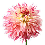 Fairy dahlia Royalty Free Stock Images