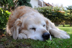Fairy dog Falco. Old Golden retriever wool-gather - dreaming dog Stock Photography