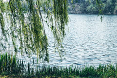 Fairy dreamy magic weeping willow branches by lake river water Royalty Free Stock Images