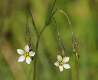 Fairy Flax Royalty Free Stock Images